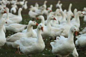Wysoce zjadliwa grypa ptaków tozagrożenie dla drobiu np.gęsi