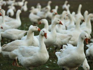 Wysoce zjadliwa grypa ptaków to zagrożenie dla drobiu np. gęsi